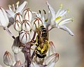 Hoverfly Merodon sp. (40058221211).jpg