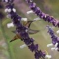 Hummingbird (5053565699).jpg