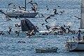 Humpback Whale off Avila Beach, CA.jpg