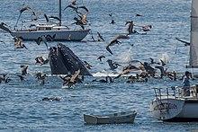 Humpback Whale Lunge Feeding Off Avila Beach 2017