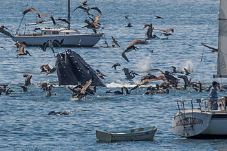 Whale watching - Humpback whale and brown pelicans off Avila Beach, California
