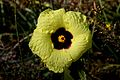 Huntington Gardens 35 - Hibiscus.jpg