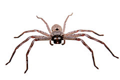 Huntsman spider white bg03.jpg