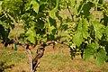 Hybrid Seyval blanc grapes pre-veraison.jpg