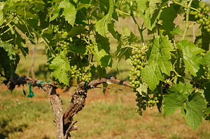 Seyval blanc - Seyval blanc grapes prior to veraison.
