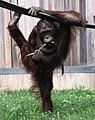 Hybrid orangutan.jpg