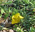 Hypericum reptans - Flickr - peganum (2).jpg