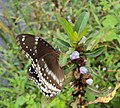 Hypolimnas bolina - Great Eggfly at Thillankeri 10.JPG