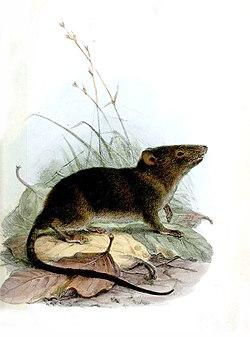 HyracodonFuliginosusWolf.jpg