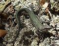 Iberian Wall Lizard - Flickr - gailhampshire (1).jpg
