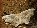 Idaea emarginata - Small scallop - Малая пяденица выемчатая (39163971280).jpg