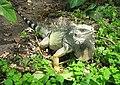Iguana iguana colombia2.jpg