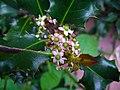 Ilex aquifolium 003.JPG