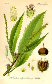 Semințe Castan comestibil (Castanea sativa)