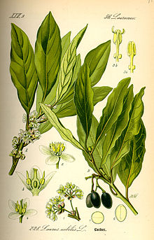 Laurus nobilis, known as bay leaf, from William Woodville, Medical Botany, 1793.