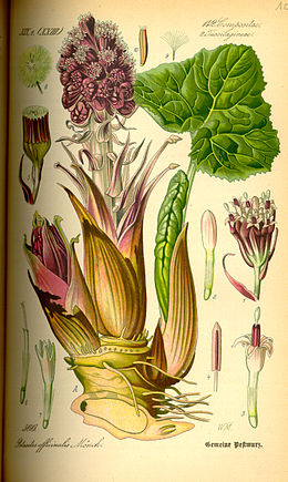 Illustration Petasites hybridus0.jpg
