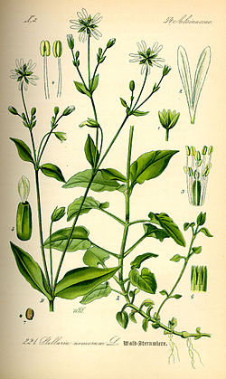 Illustration Stellaria nemorum0.jpg