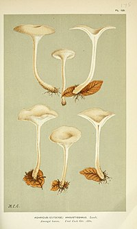 "Illustrations of British Fungi (Hymenomycetes), to serve as an atlas to the ""Handbook of British Fungi"" (Pl. 125) (6055651309).jpg"