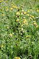 Image-Ophrys sphegodes, Dover 2.JPG