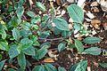 Impatiens hians-Jardin botanique Jean-Marie Pelt (6).jpg