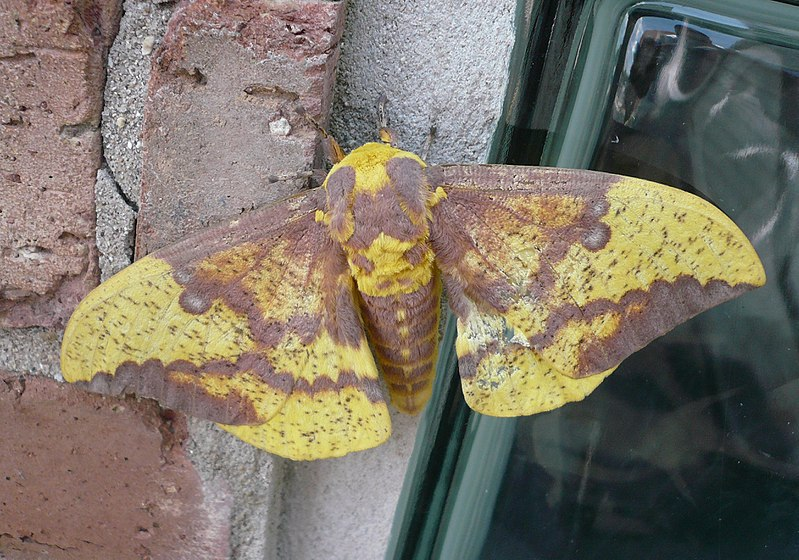 File:Imperial moth Illinois.JPG