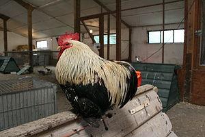 Cochin chicken - Cochin cock