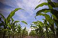 In the corn field.jpg
