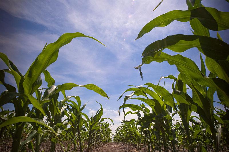 File:In the corn field.jpg