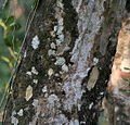 Indian gooseberry (Phyllanthus emblica syn Emblica officinalis) trunk at Jayanti, Duars, West Bengal W Picture 041.jpg