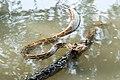 Indian python Python molurus.jpg