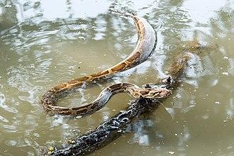 Python molurus - A Indian python swimming Keoladeo Ghana National Park, Bharatpur, Rajasthan, India