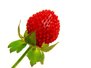 Wild Strawberry, also called Indian strawberry...