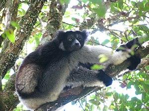 Indri - Indri resting after eating (Andasibe-Mantadia National Park, Madagascar)
