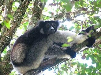 Indri - Image: Indri Andasibe