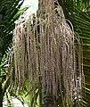Infrutescencia de palma de Cunningham (Archontophoenix cunninghamiana) (14603716479).jpg