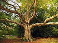 Interesting Tree on Mitchell Drive - geograph.org.uk - 69674.jpg