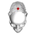 Internal occipital protuberance.png