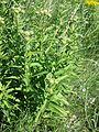 Inula germanica sl6.jpg