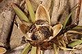Ipomoea pes-caprae subsp. brasiliensis 5Dsr 7965.jpg