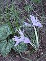 Iris vartanii 2.JPG