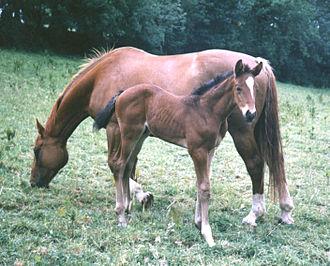 Irish Sport Horse - Irish Sport Horse mare and foal