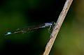 Ischnura elegans3.jpg