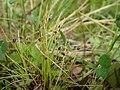 Isolepis setacea kz02.jpg