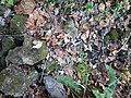 Ison Creek Kimberlite (Elliott County Peridotite, Late Cretaceous, 75 Ma; west of Stephens, Elliott County, Kentucky, USA) 13 (48383243187).jpg