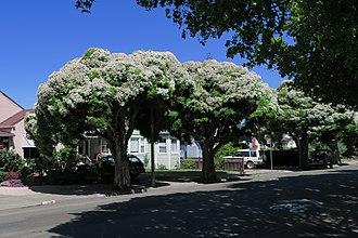 Melaleuca linariifolia - Street trees in Albany, California