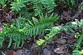 J20160126-0040—Polypodium glycyrrhiza—RPBG (24027535613).jpg