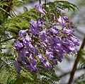 Jacaranda (Jacaranda mimosifolia) in Hyderabad, AP W IMG 6736.jpg