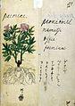 Japanese Herbal, 17th century Wellcome L0030100.jpg