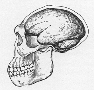Java Man - 1922 reconstruction of a Java Man skull, due to Trinil 2 being only a cranium, Dubois who believed Java man was transitional between apes and humans, drew the reconstruction with an ape-like jaw but a brain larger than apes'