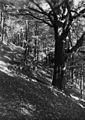 Jiráskův buk, Hronov, 1930.jpg
